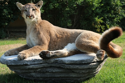 Cougar Life Reviews >> Life Size Mountain Lion Cougar Mount – P&D International ...
