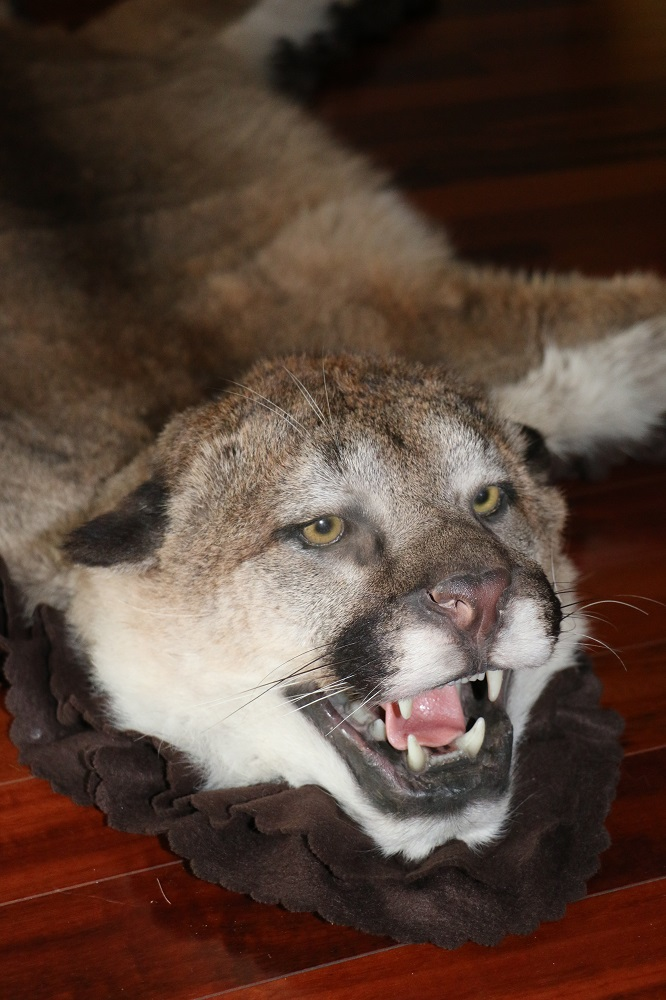 Cougar Life Reviews >> Mountain Lion – Cougar Rug – P&D International Furtraders