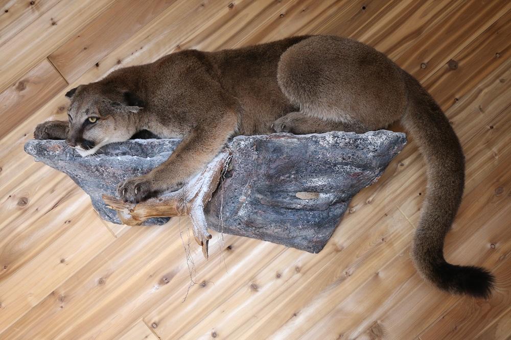 Life Size Cougar Mountain Lion Mount P Amp D International