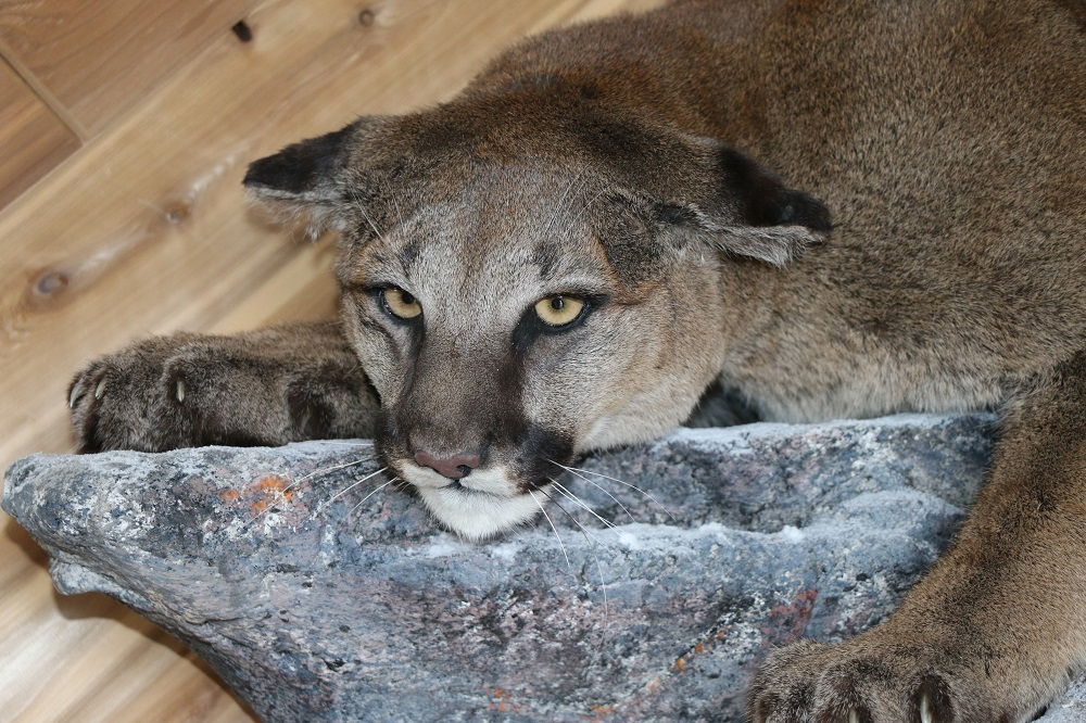 Life Size Cougar Mountain Lion Mount P Amp D International