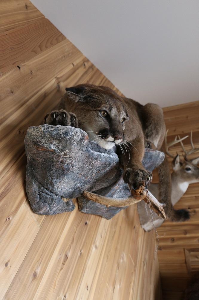Cougar Life Reviews >> Life size Cougar – Mountain Lion Mount – P&D International ...