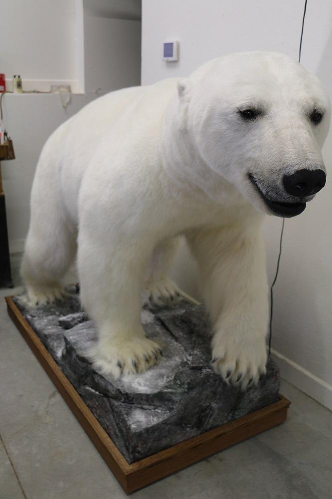 Life Size Polar Bear Mount P Amp D International Furtraders