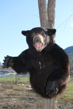 Black Bear – P&D International Furtraders